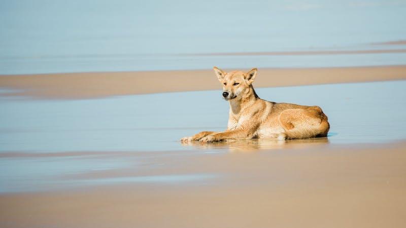 Fraser Island Cool Dingo Tours
