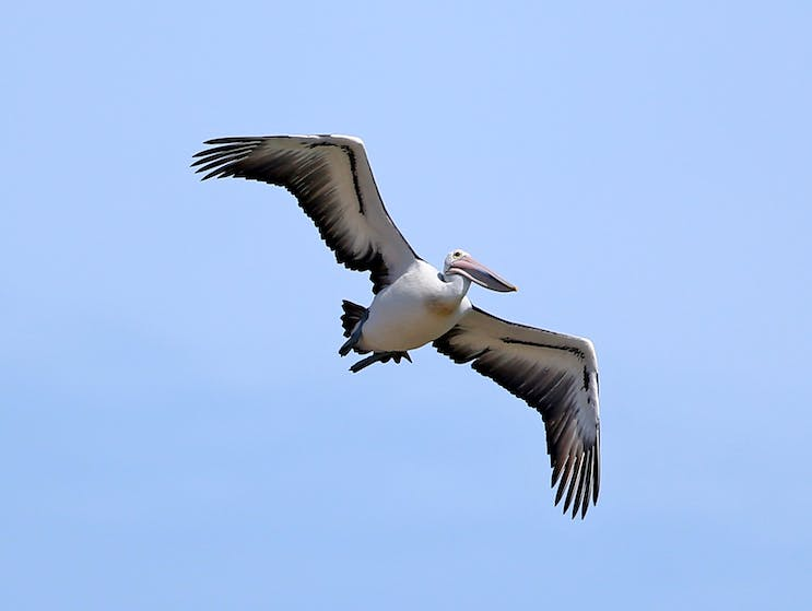 Pelican flying in to feed at The Entrance, NSW