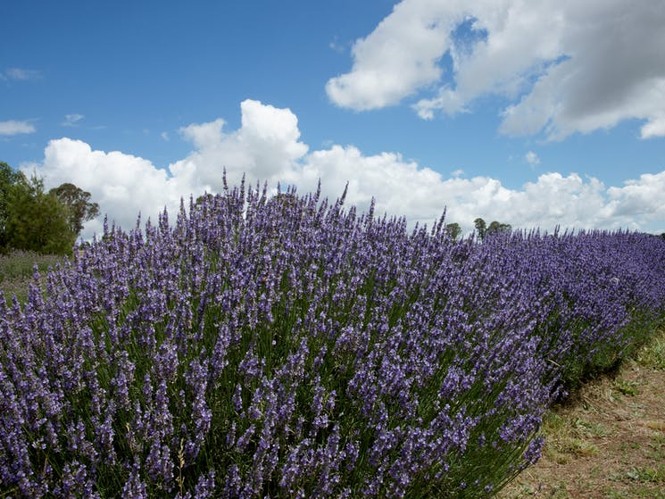 Crystal Brook Lavender Farm