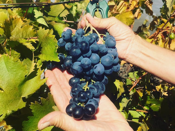 Black Muscat Grapes from their 70 year old vines