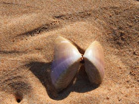 The mollusc that gives the beach its name. Pippi Beach, Yamba.