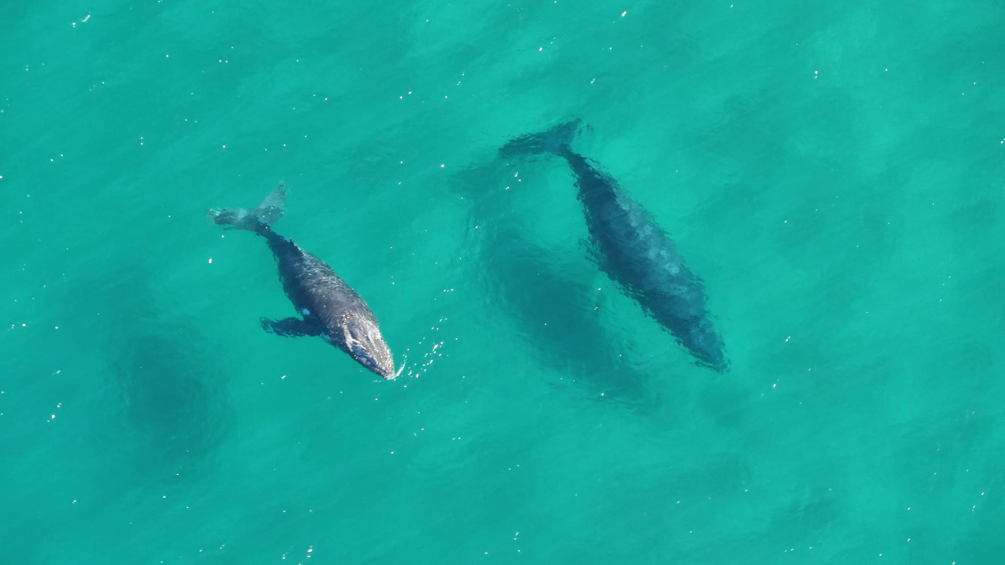 A mother and her calf spotted migrating south on one of their helicopter scenic flights