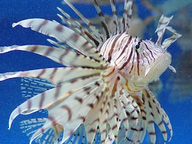 Reef HQ Aquarium Lionfish