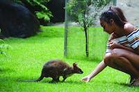 Paddymelon Feeding Kuranda Koala Gardens