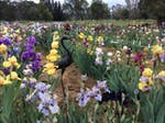 Over 800 bearded irises on display in October