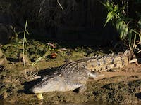 wild crocodile on daintree river bank on jungle tours and trekking