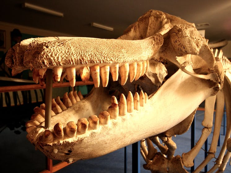 Killer Whale, skeleton, Eden Killer Wahel Museum, Sapphire Coast, SOuth Coast, New SOuth Wales, whal