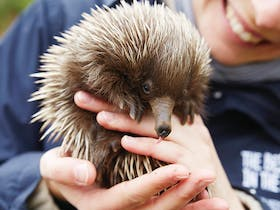 Person holding an echidna on Kangaroo Island