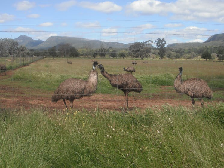Emu Logic emus with the Warrumbungle Moutians in the back ground.