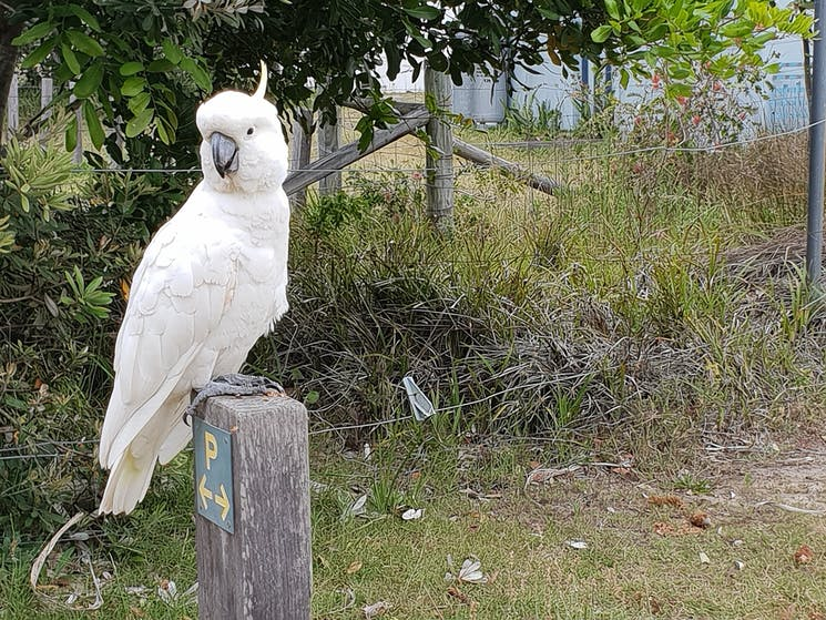 Sulphur crested cockatoo standing on a wooden pole