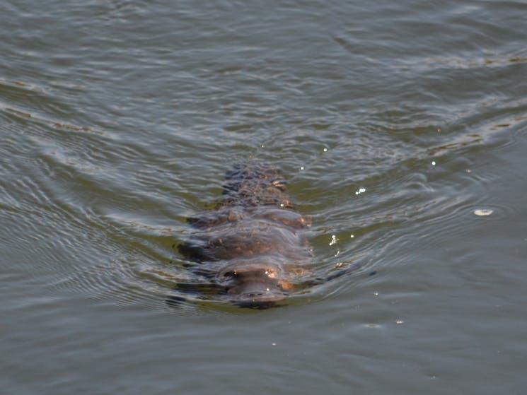 Platypus found in River