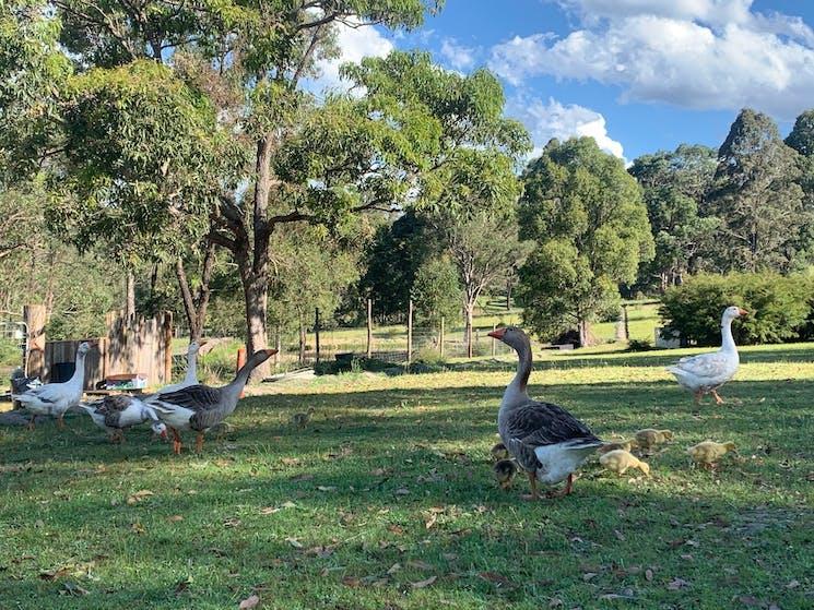 Geese on the Davis Farm