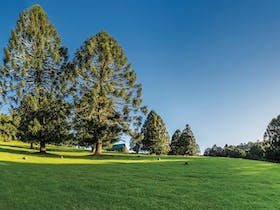 Tall bunya pines, in open grassy area, Bunya Mountains.