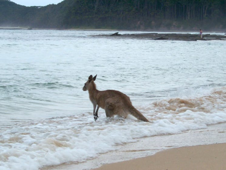 Who said kangaroos don't surf? Just waiting for his board to drift in.