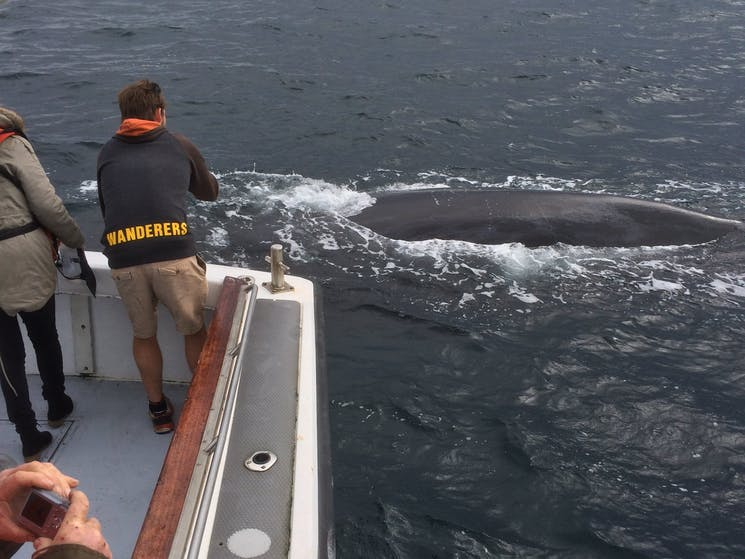 Humpback whale approximately 13 metres long less than five metres from the boat