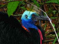 Cassowary on tour with Tony's Tropical Tours