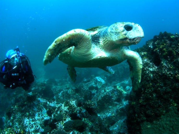 Loggerhead turtle at South Solitary Island