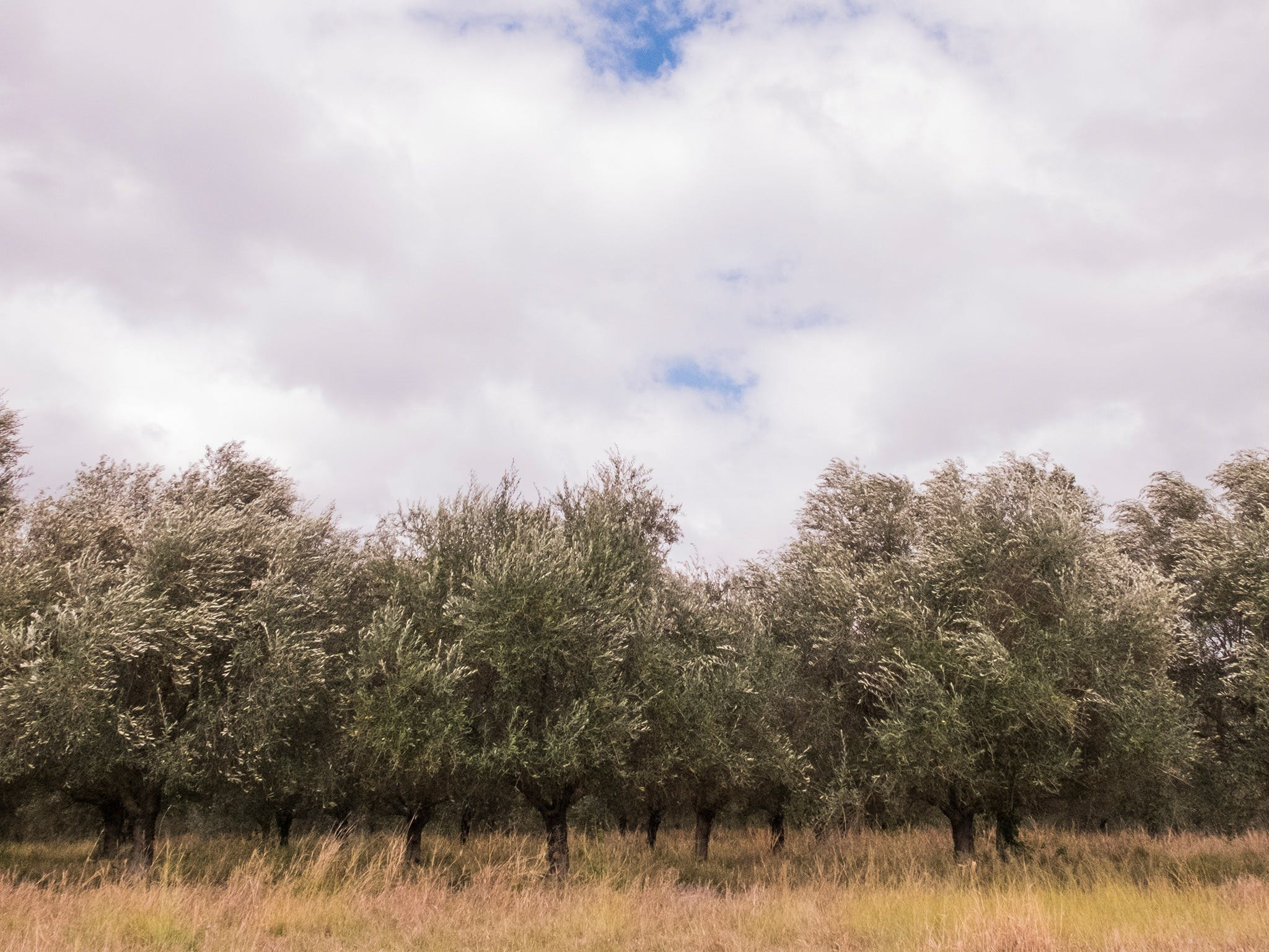 Image of Olive trees