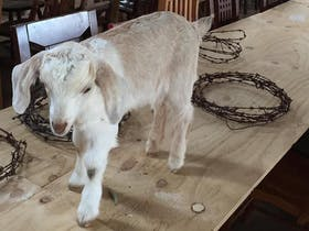 Pet goats are optional guests at your function at the Marryongla near Cowra!