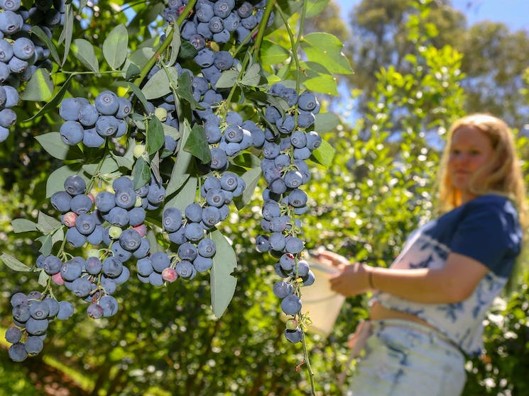 Girl picking berries at Clyde River Berry Farm
