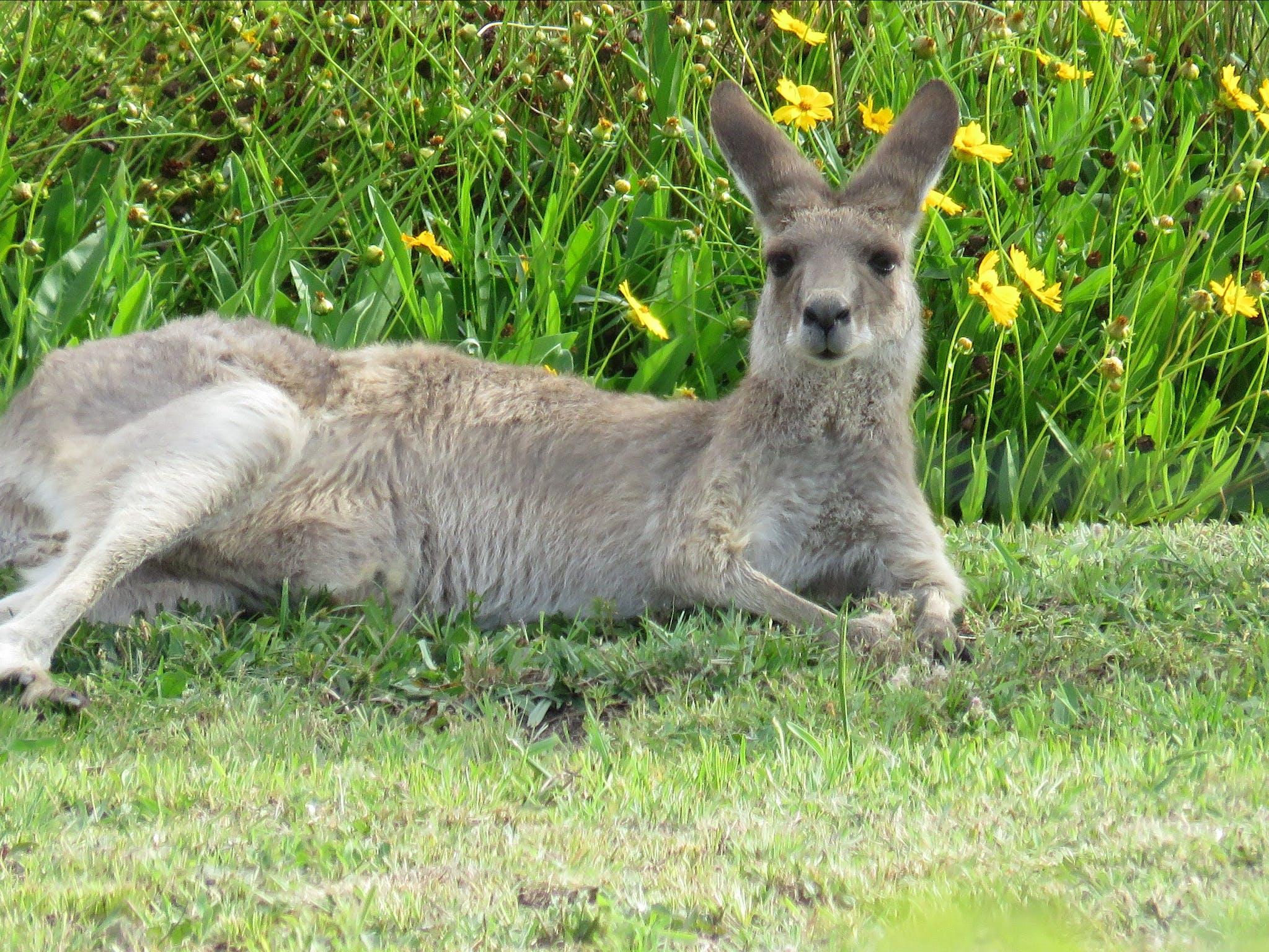 Grey Kangaroo in their backyard