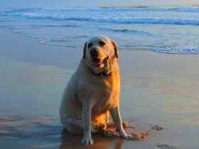 """""""Jagger"""" – a bit tuckered out from all that freedom to run. Dump Beach, Yamba."""
