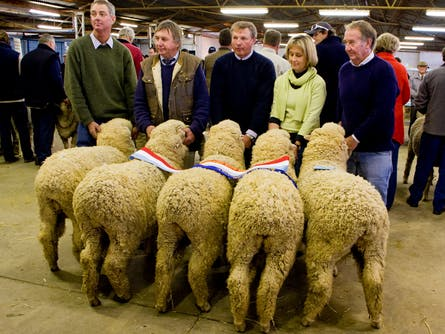 Hay Merino Sheep Show