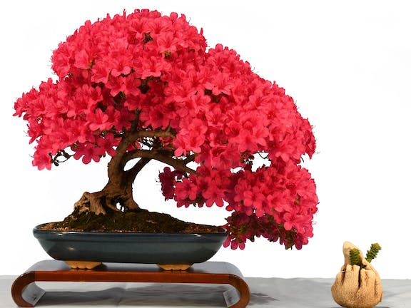 2020 Canberra Bonsai Society Annual Show