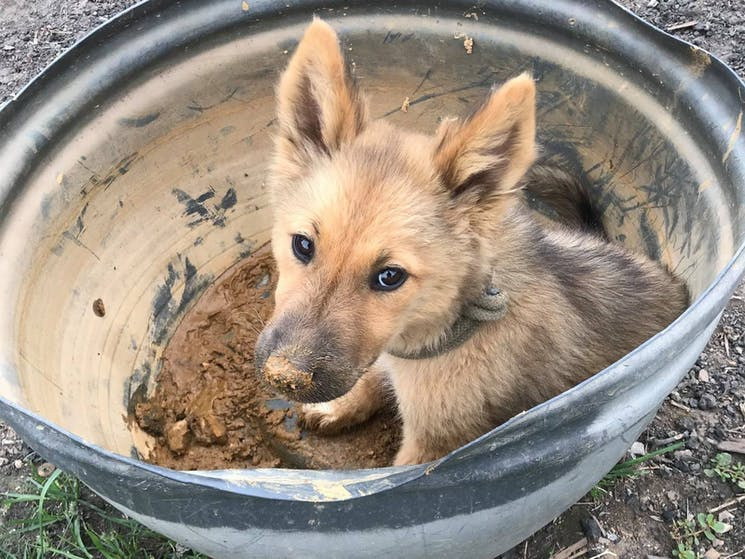 Puppy in gold panning pan