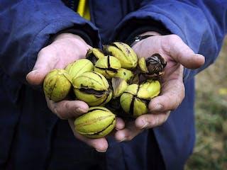 Stahmann Pecan Nut Farm