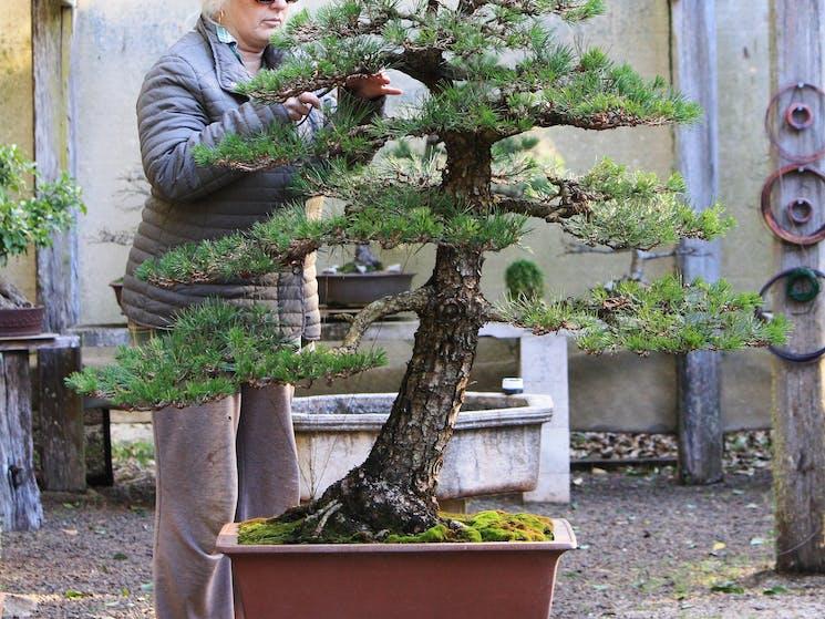 Australian bonsai dorrigo