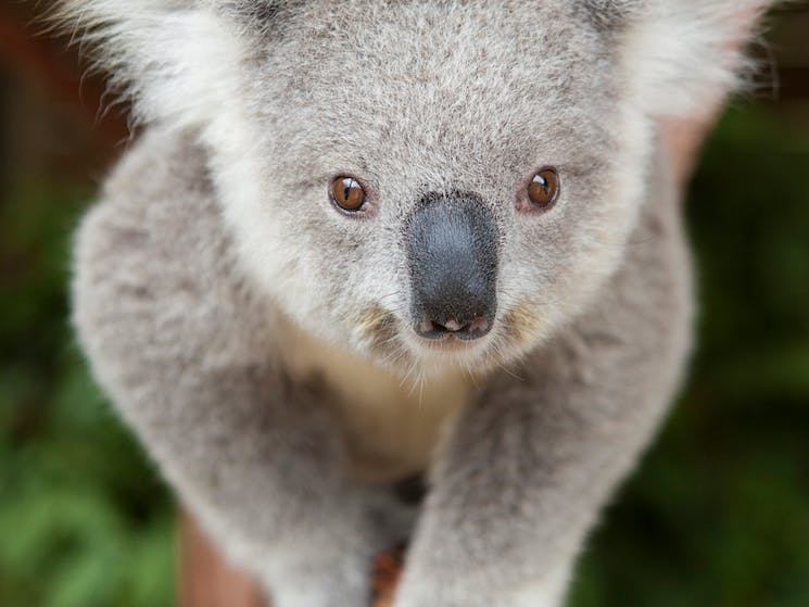 You can meet, greet and cuddle up to Koalas