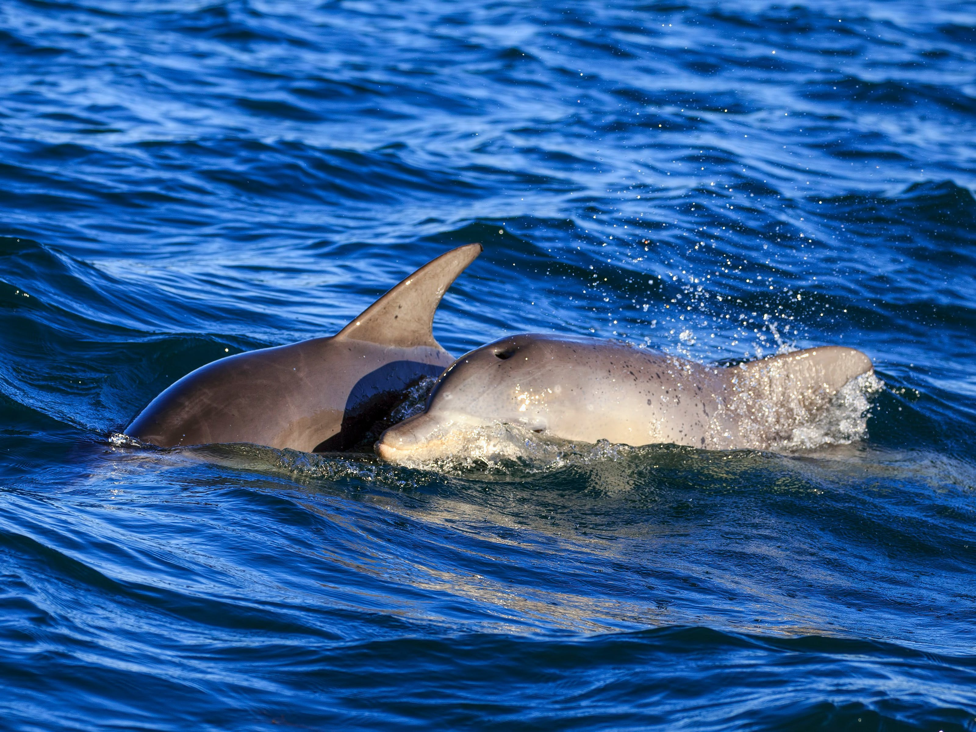 Mother & Calf Dolphins