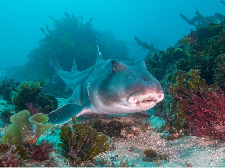 Snorkeling in Cabbage Tree Bay, Port Jackson shark