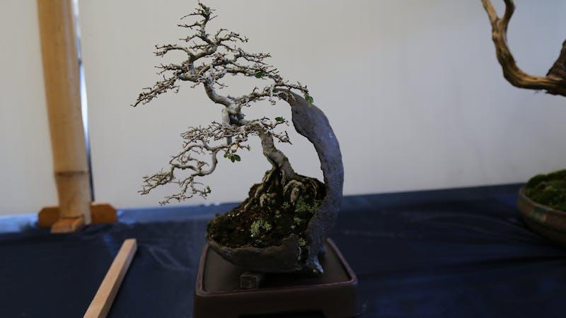 Wauchope Bonsai Workshop Group