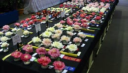 Image of the event 'Camellia Spectacular'