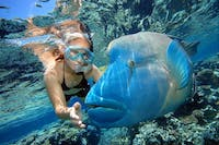 Snorkelling with Wally the Giant Maori Wrasse at Marine World