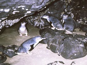 Little penguins at Doctors Rocks