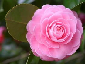 Berry Camellia and Floral Show