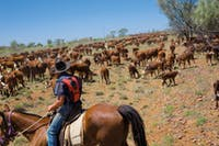 Droving Cattle just outsde of Barcaldin