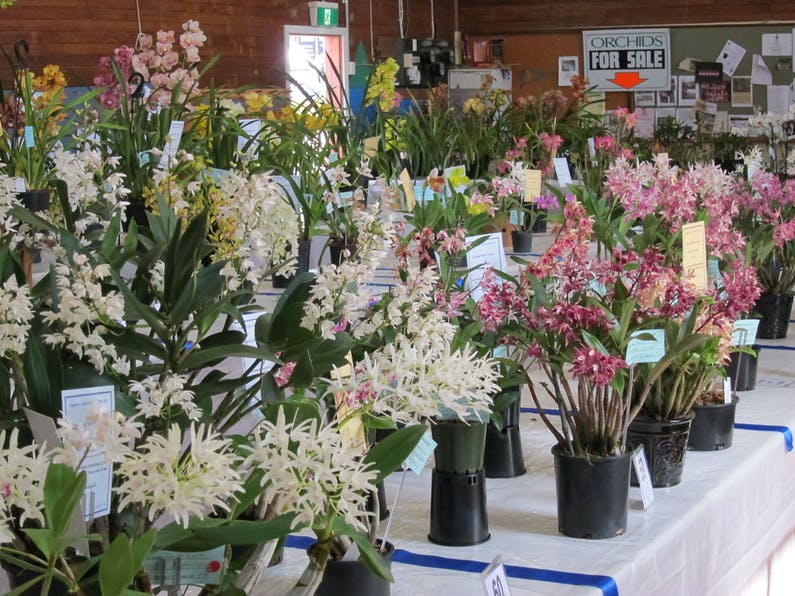 Image of the event 'Sapphire Coast Orchid Club Spring Orchid Show'