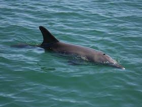 Dolphins, Koombana Bay, Western Australia