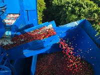 Ripe Coffee Cherries from Jaques Coffee Harvester