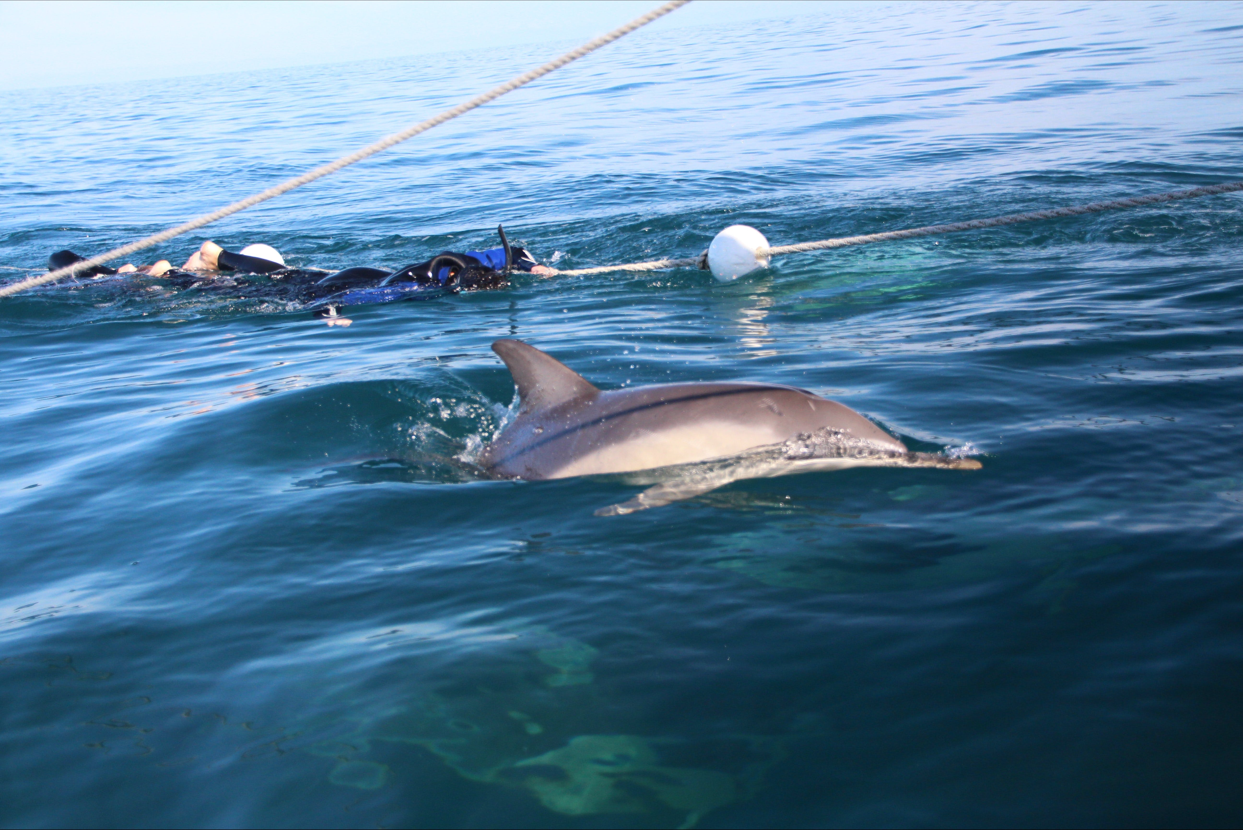 Swimming with wild dolphins off Glenelg SA