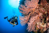 Scuba Diver with Pink Seafan
