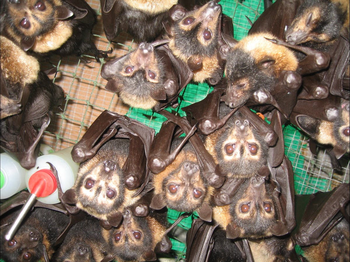 Lots of baby flying fox orphans