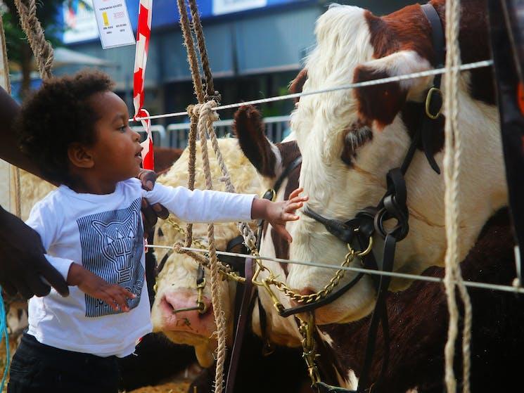 Casino Beef Week Cattle Show