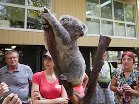 People standing around a koala on a low branch with building in background.