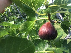 Norland Fig Orchard