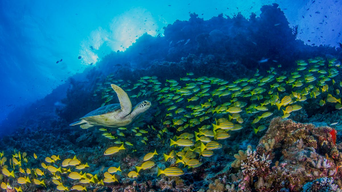 Turtle - Ribbon Reefs